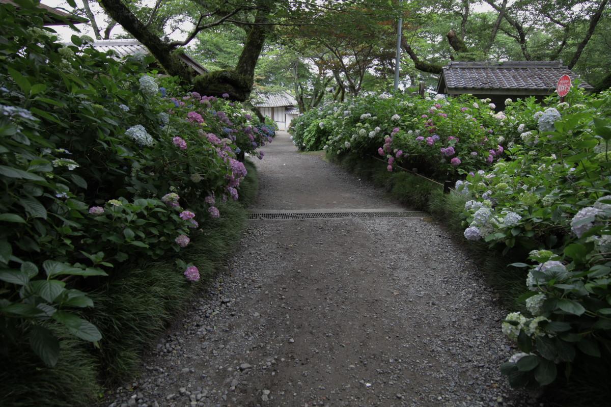 紫陽花 2012 <矢田寺>_f0021869_22212755.jpg