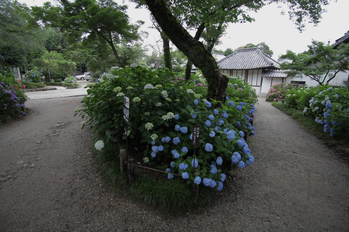 紫陽花 2012 <矢田寺>_f0021869_22222879.jpg