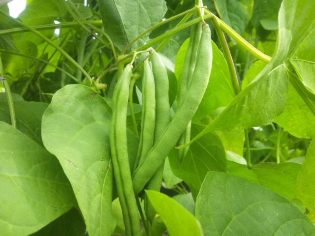 三度豆とズッキーニ_a0138985_1840671.jpg