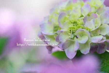 紫陽花_d0148187_0262842.jpg
