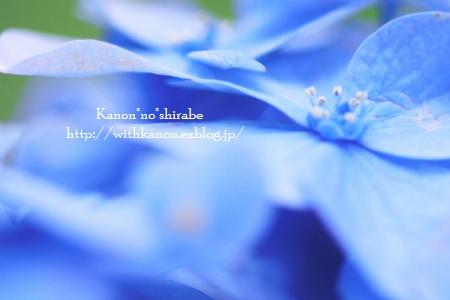 紫陽花_d0148187_0263824.jpg