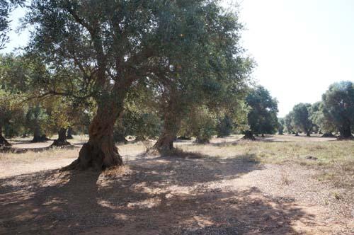 巨大なオリーブの樹と「猫のしっぽ かえるの手」の嬉しいお知らせ_f0106597_035211.jpg