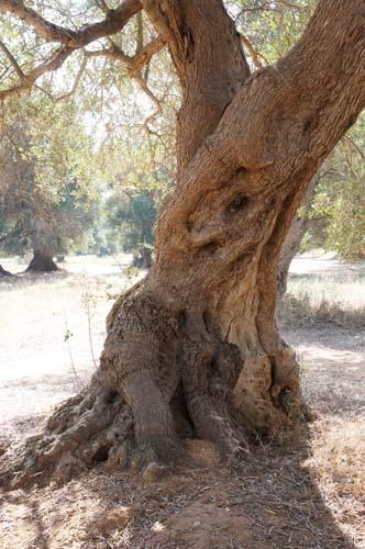 巨大なオリーブの樹と「猫のしっぽ かえるの手」の嬉しいお知らせ_f0106597_0362630.jpg