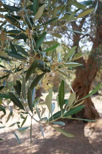 巨大なオリーブの樹と「猫のしっぽ かえるの手」の嬉しいお知らせ_f0106597_0371540.jpg