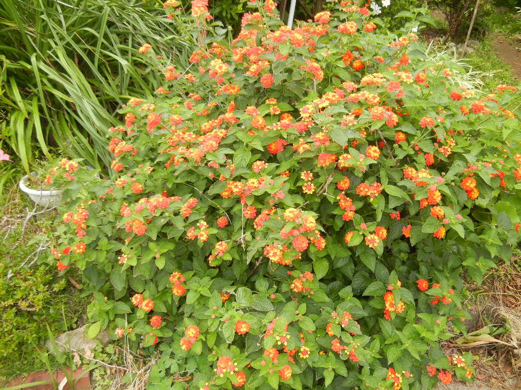 '12、7,2(火)夏はオレンジの花が花盛り!_f0060461_16151368.jpg
