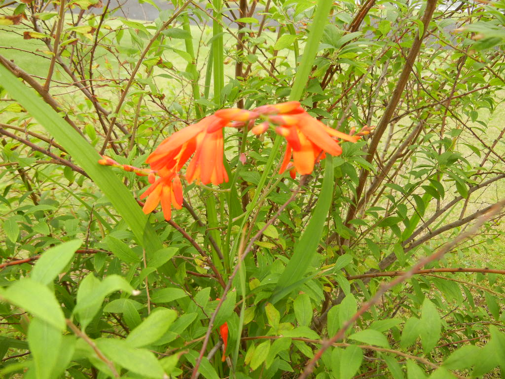 '12、7,2(火)夏はオレンジの花が花盛り!_f0060461_16161477.jpg