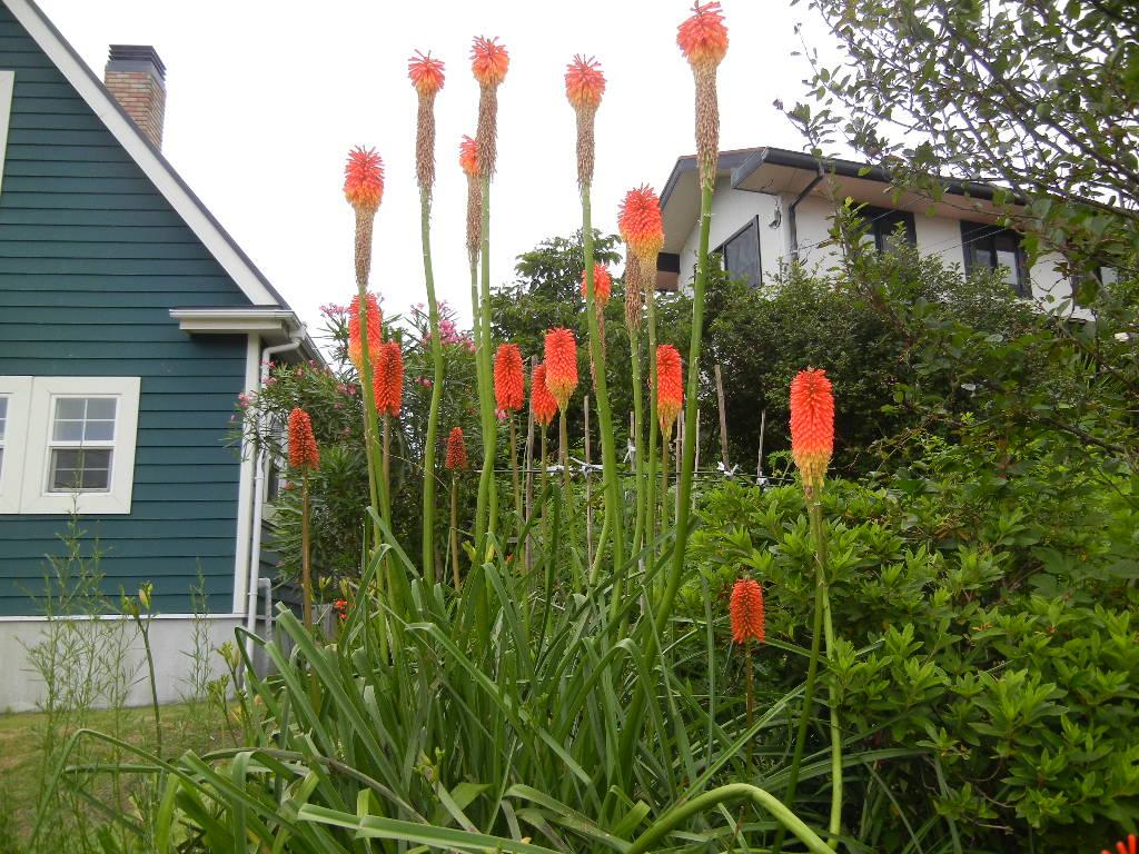 '12、7,2(火)夏はオレンジの花が花盛り!_f0060461_1682736.jpg