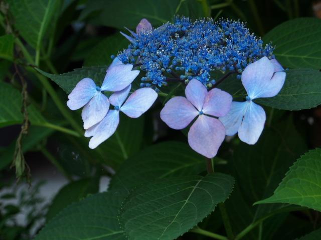 故郷の風景 庭に咲く花々_f0024992_8162640.jpg