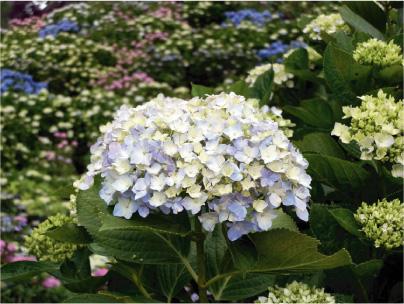 散歩部活動報告 「紫陽花のある風景 2012」_e0142619_1185832.jpg