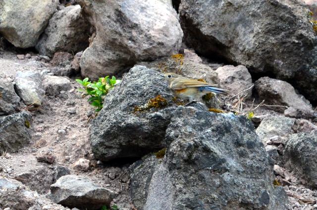 十勝岳のエゾシマリスとルリビタキ。_b0165760_20115771.jpg