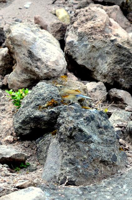 十勝岳のエゾシマリスとルリビタキ。_b0165760_201419.jpg