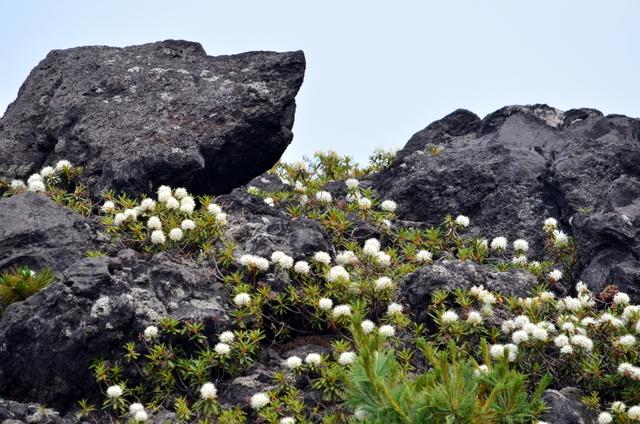 十勝岳のエゾシマリスとルリビタキ。_b0165760_2032461.jpg