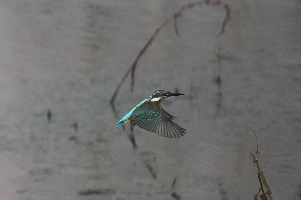 カワセミ若鳥のホバリング、蓮池の若鳥/香りをどうぞ!!_b0024798_10242423.jpg