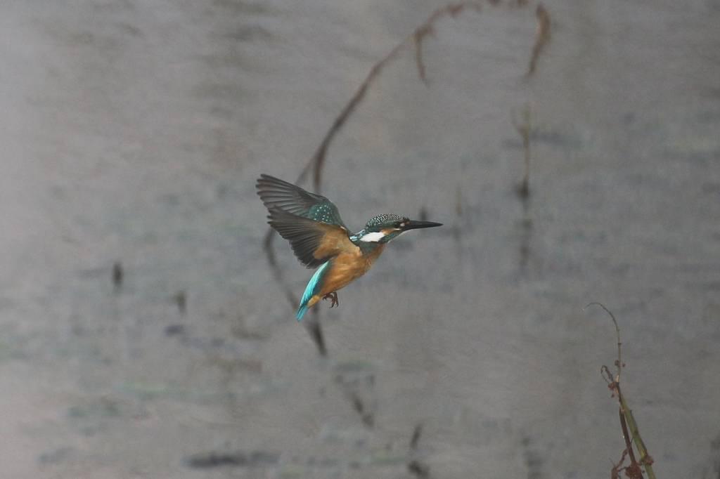 カワセミ若鳥のホバリング、蓮池の若鳥/香りをどうぞ!!_b0024798_10243782.jpg