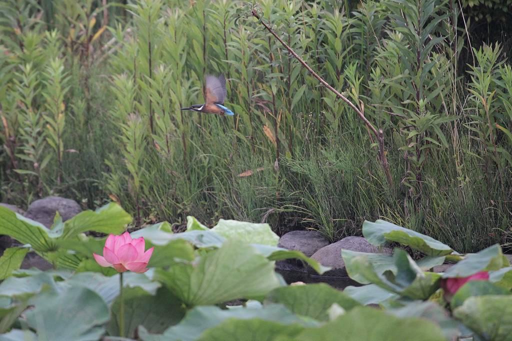 カワセミ若鳥のホバリング、蓮池の若鳥/香りをどうぞ!!_b0024798_10301293.jpg