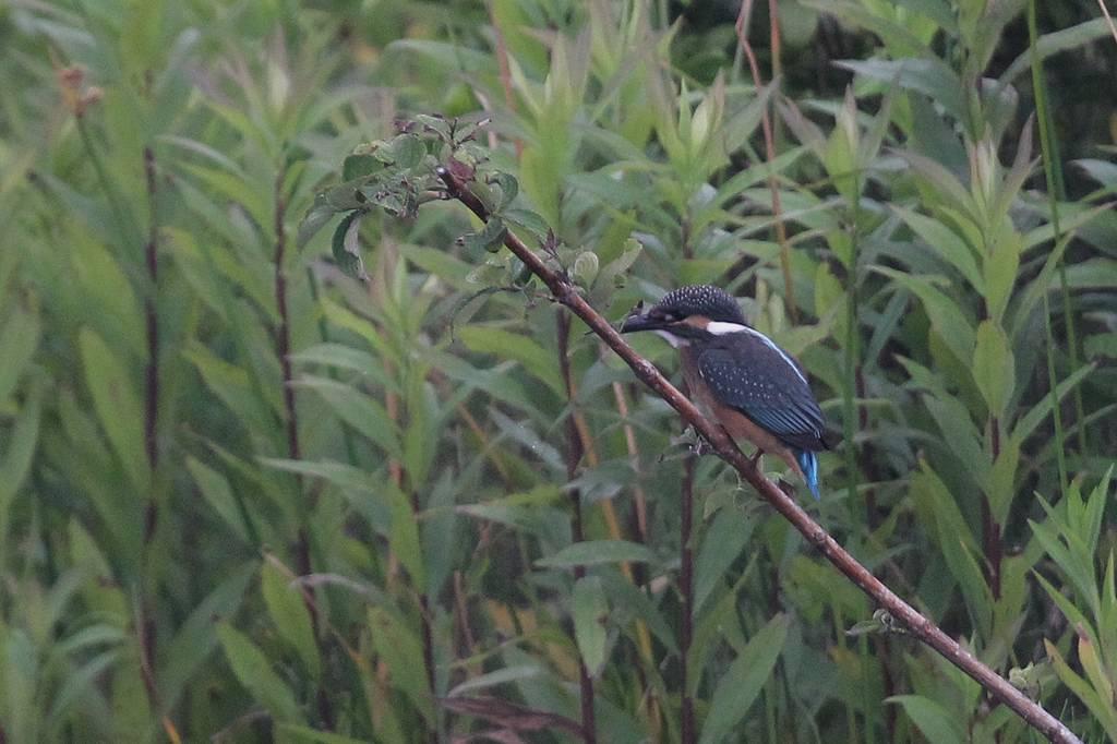 カワセミ若鳥のホバリング、蓮池の若鳥/香りをどうぞ!!_b0024798_1030250.jpg