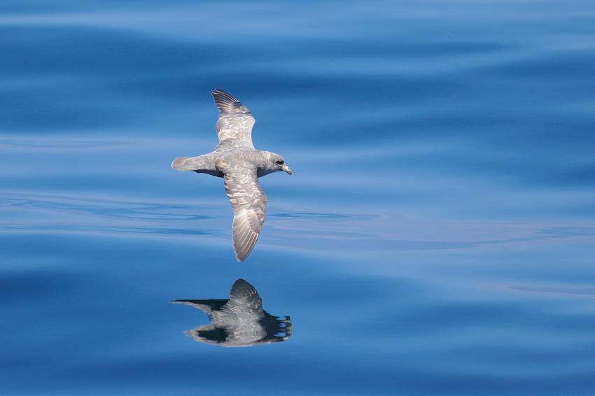 フルマカモメ(Northern Fulmar) ~2012.06_b0148352_12123974.jpg