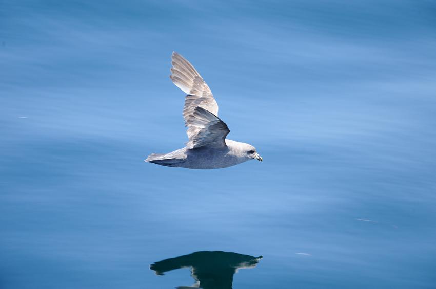 フルマカモメ(Northern Fulmar) ~2012.06_b0148352_12132470.jpg
