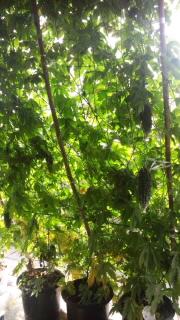 緑のカーテン_f0096955_2232332.jpg