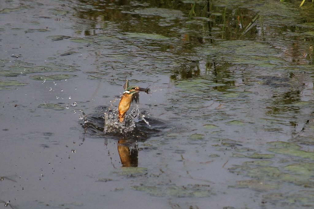 カワセミ幼鳥ホバからGET/資源ゴミの収集_b0024798_551678.jpg