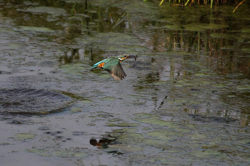 カワセミ幼鳥ホバからGET/資源ゴミの収集_b0024798_552831.jpg