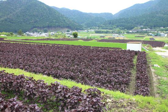 大原の里 シソ畑_e0048413_1821228.jpg