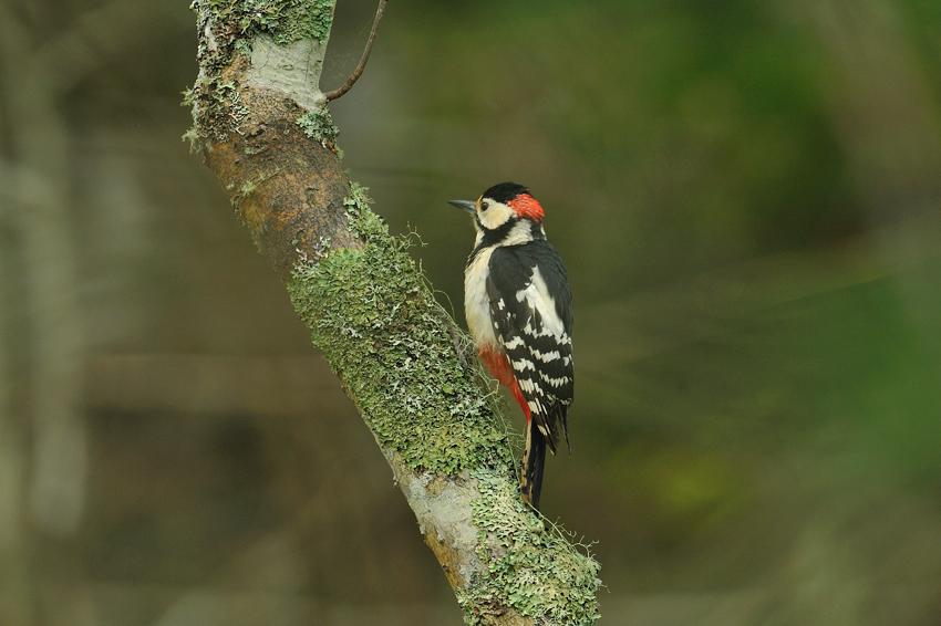 エゾアカゲラ(Great Spotted Woodpecker) ~2012.06_b0148352_10525252.jpg