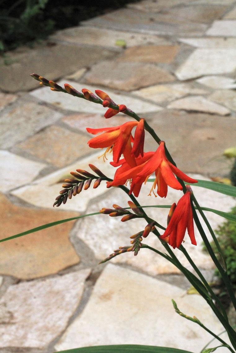 自然石貼の庭の通路     オオムラサキツユクサ   ハンゲショウ ヒメヒオウギスイセン_a0107574_1015275.jpg