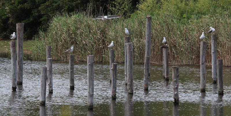 ★アカガシラサギ、いました! 先週末の鳥類園(2012.6.30~7.1)_e0046474_1538935.jpg