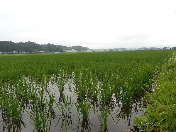 7月5日の田んぼ(緑ヶ丘小・北郷小)_d0247484_16494796.jpg