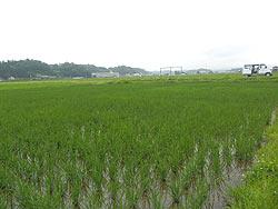 7月5日の田んぼ(緑ヶ丘小・北郷小)_d0247484_16553579.jpg