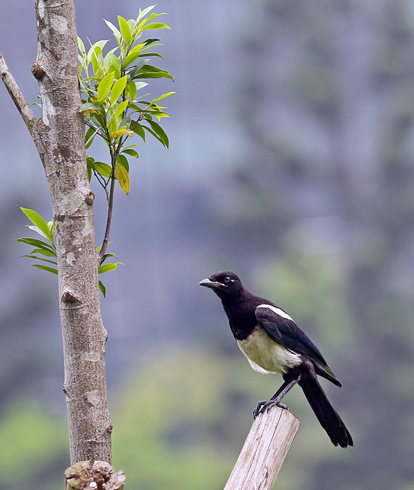 台湾の野鳥㉕ 「カササギ」_d0195897_1237330.jpg