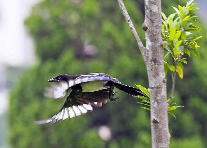 台湾の野鳥㉕ 「カササギ」_d0195897_12374818.jpg