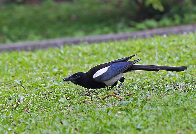 台湾の野鳥㉕ 「カササギ」_d0195897_12402270.jpg