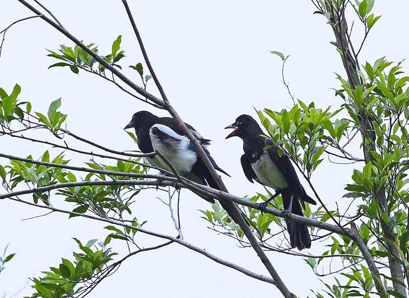 台湾の野鳥㉕ 「カササギ」_d0195897_12411379.jpg