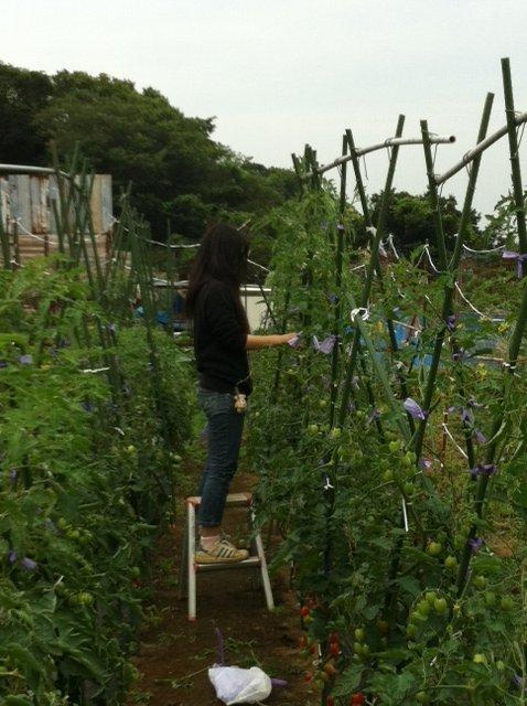 トマトは高さ2Mを越えています_c0222448_12501389.jpg