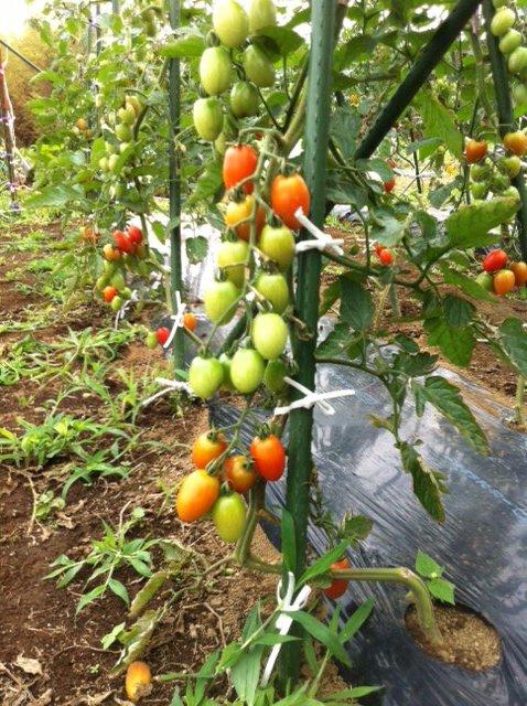 トマトは高さ2Mを越えています_c0222448_12502432.jpg