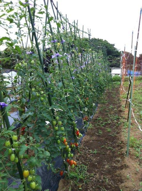 トマトは高さ2Mを越えています_c0222448_12503325.jpg