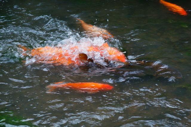 鯉の産卵_b0223668_551337.jpg