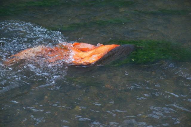 鯉の産卵_b0223668_552218.jpg