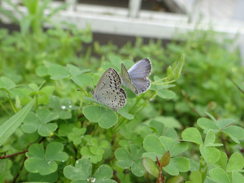 ヤマトシジミ・・・雨上がりの庭で・・・_d0254540_13534742.jpg