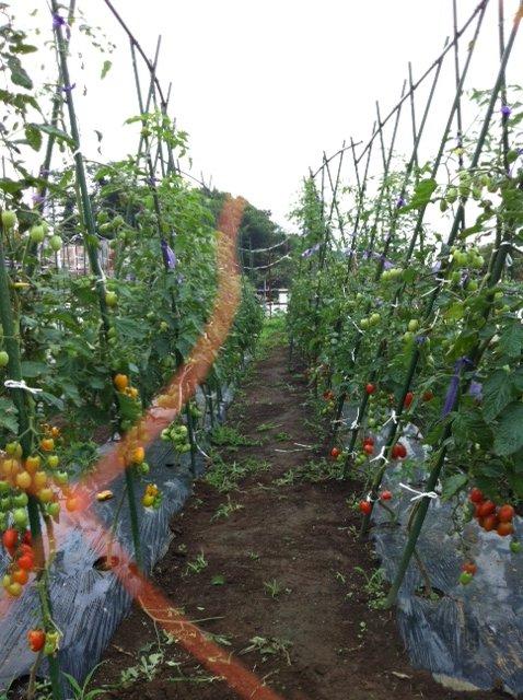 七夕・・・今朝の畑は・・雨模様・・何故か毎年この日はお湿りの日が・・_c0222448_15294046.jpg