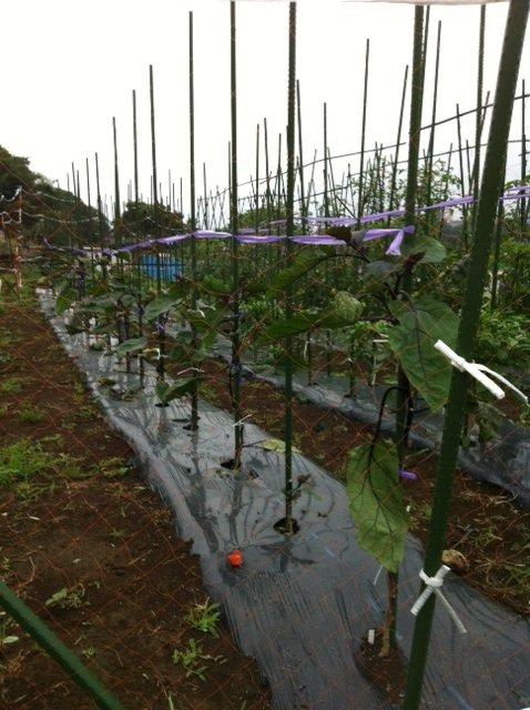 七夕・・・今朝の畑は・・雨模様・・何故か毎年この日はお湿りの日が・・_c0222448_15295356.jpg