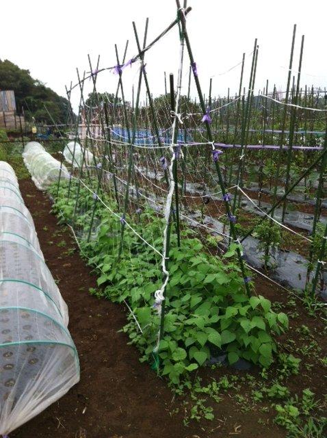 七夕・・・今朝の畑は・・雨模様・・何故か毎年この日はお湿りの日が・・_c0222448_1530349.jpg