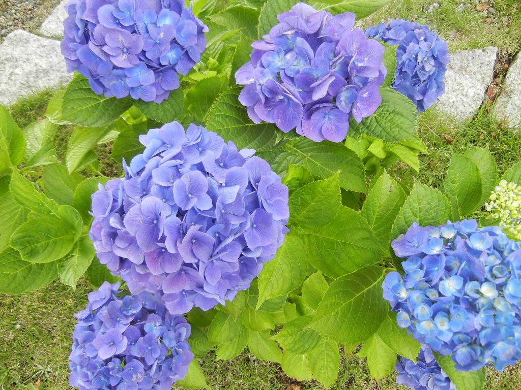 '12,7,7(土)青い花とじゃがいも堀!_f0060461_11211191.jpg