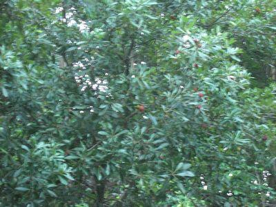 鈴なりに実をつけていた山モモが木から消えて落ちた!_e0151349_1353185.jpg
