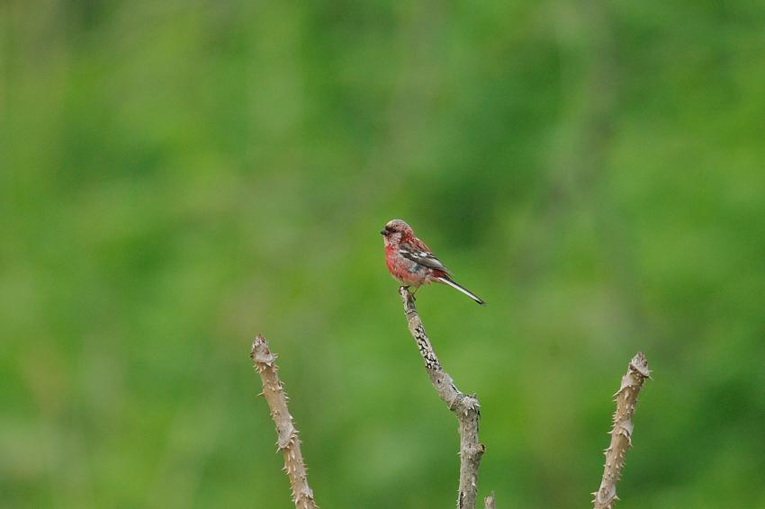 ベニマシコ(Long-tailed Rose Finch) ~2012.06_b0148352_1034058.jpg