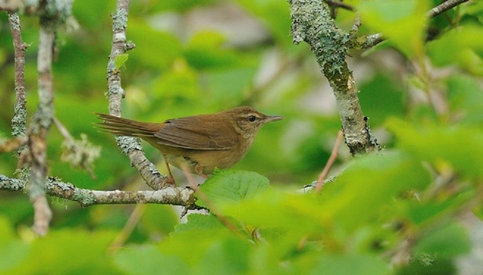 ベニマシコ(Long-tailed Rose Finch) ~2012.06_b0148352_105010100.jpg
