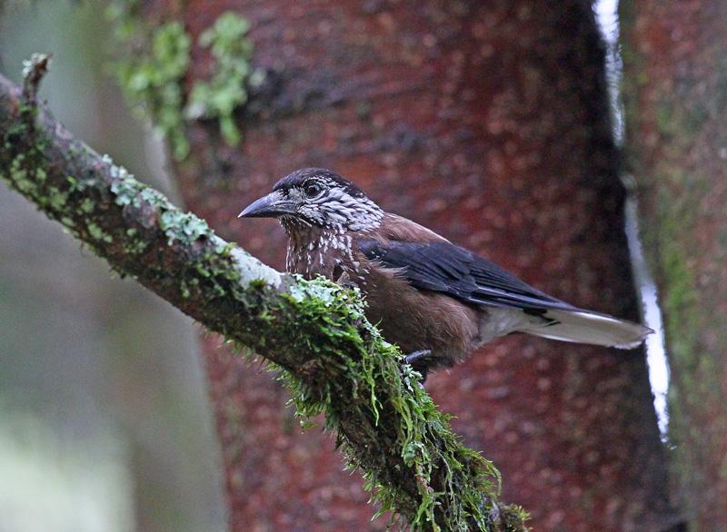 台湾の野鳥㉖ 「ホシガラス」_d0195897_1221158.jpg