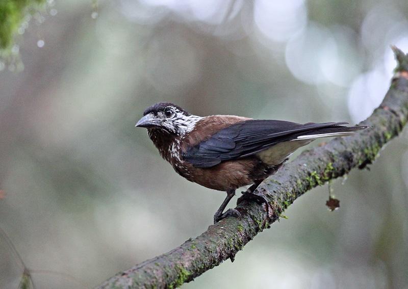 台湾の野鳥㉖ 「ホシガラス」_d0195897_122138100.jpg